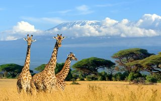Giraffes in the African plains amidst a field of grains with a mountainous landscape in the background